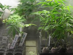Cloning marihuana: self-cultivation
